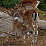 A famale doe of Fallow deer suckling one young fawn in Sweden. The fallow deer, Dama dama is a ruminant mammal belonging to the family Cervidae. This common royalty free stock image