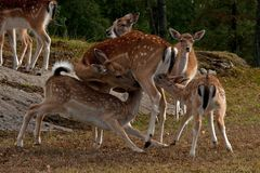 A famale doe of Fallow deer suckling two young fawn in Sweden. The fallow deer, Dama dama is a ruminant mammal belonging to the family Cervidae. This common royalty free stock photo