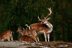 A group of fallow deer, in a forest in Sweden stock photography