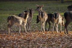 Fallow Deer, dama dama. A smaller type of deer stock photos