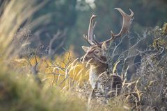 Fallow deer Dama Dama stag in Autumn. Fallow deer Dama Dama male walking in a forest. The Autumn sunlight and nature colors are clearly visible on the background royalty free stock photos