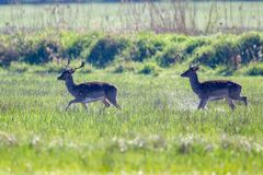 Fallow Deer Dama dama. Two Fallow Deer Dama dama running over a flooded meadow in the nature reserve Moenchbruch near Frankfurt, Germany stock image
