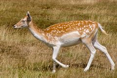 Fallow deer Doe. A young fallow deer (dama dama) or fawn (family Cervidae) walking through dry grass in an English deer park royalty free stock image