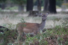 Fallow Deer Doe. Bushey Park, Richmond, London stock photography
