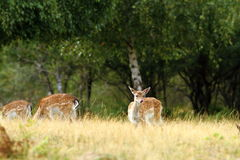 Fallow deer doe in a clearing. Looking towards the camera ( Dama Royalty Free Stock Photos