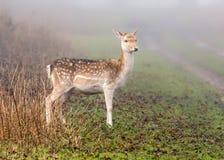 Fallow Deer Doe  - Dama dama in autumn fog. A Fallow Deer Doe, Dama dama, standing in parkland on a cold foggy day in late autumn, Warwickshire, England Royalty Free Stock Photo