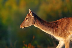 Fallow deer doe Stock Photography