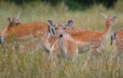 Fallow Deer Doe Stock Photography
