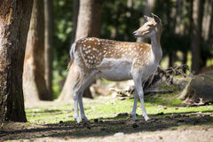 Fallow deer doe in the forest stock photo
