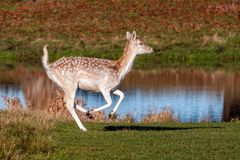 A Fallow Deer Doe in full flight - Dama dama.