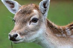 Fallow deer doe. Head of a vigilant fallow deer doe stock photography