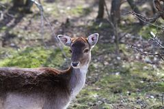 Fallow deer doe portrait Royalty Free Stock Photography