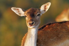 Fallow deer doe portrait looking at camera. ( Dama ) over out of focus background Royalty Free Stock Image