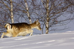 Fallow deer doe in winter Stock Image