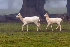 Fallow Deer Doe and Yearling - Dama dama. A pale phase or pale morph Fallow Deer Doe, Dama dama, being followed by her yearling on a cold foggy day in late Royalty Free Stock Photography