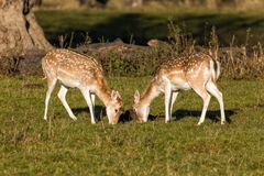 Fallow Deer Does - Dama dama Grazing, Warwickshire, England. Stock Photos