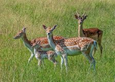 Fallow Deer Does, Fawn and Pricket. Fallow Deer Does - Dama dama, with a Fawn and a Prickett, a buck in its second year royalty free stock image
