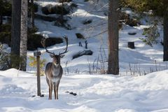 Fallow deer. Or duma duma Stock Images