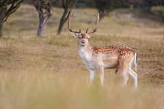 Fallow deer. In the dunes royalty free stock image