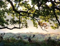 Fallow deer at Dunham Massey Cheshire. Autumn morning Dunham Massey Cheshire Royalty Free Stock Image
