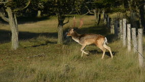 Fallow deer escape stock footage