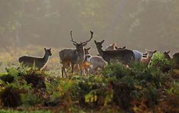 Fallow Deer. Herd at dawn preparing for a rut stock photos