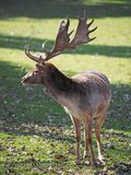 The fallow deer Royalty Free Stock Photo