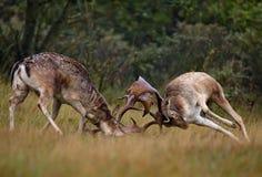 Fallow Deer. Fallowe deer fighting during rutting season Royalty Free Stock Photo