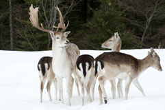 Fallow deer family Stock Photo