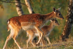 Fallow deer family Stock Image