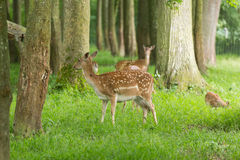 Fallow deer family Royalty Free Stock Photo