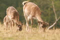 Fallow deer family grazing on meadow Royalty Free Stock Photography