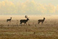 Fallow deer family in morning mist Stock Image