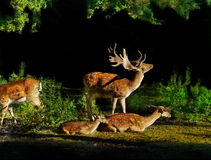 Free Fallow Deer Family Sunrise Royalty Free Stock Image - 33281486