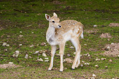 Fallow Deer Fawn Royalty Free Stock Photos