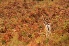 Fallow Deer fawn stock photos