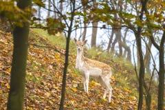 Fallow deer fawn in Autumn Royalty Free Stock Photos