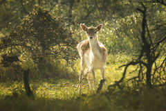 Fallow deer fawn in Autumn Royalty Free Stock Photography