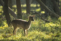 Fallow deer fawn in Autumn Stock Image