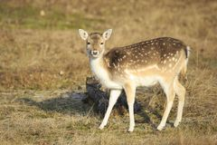 Fallow deer fawn in Autumn. Fallow deer Dama Dama fawn in Autumn season. The Autumn fog and nature colors are clearly visible on the background stock photo