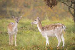 Fallow deer fawn in Autumn Stock Images