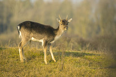 Fallow deer fawn Dama Dama in Winter Stock Photos