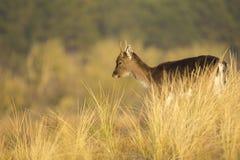 Fallow deer fawn Dama Dama in Winter Royalty Free Stock Photography