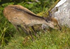 Fallow deer fawn eating grass. Stock Photo