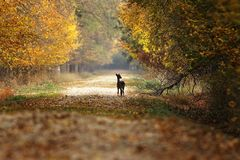Fallow deer fawn standing on rural road. In the middle of the forest  Dama Stock Photography