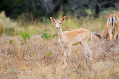 Fallow Deer Fawn Royalty Free Stock Images