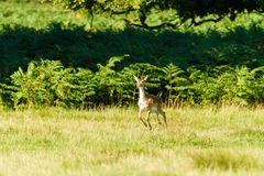 Fallow Deer Fawn & x28;Dama dama& x29; hopping over fields, taken in UK