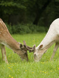 Fallow deer fawns fighting Royalty Free Stock Photos