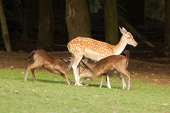 A fallow-deer is feeding. Its youngsters Stock Photo