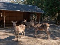 Fallow deer on the feeding-rack royalty free stock photo